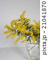 ミモザ 花 銀葉アカシアの写真 21041870