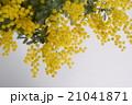 ミモザ 花 銀葉アカシアの写真 21041871