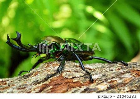 ニジイロクワガタの森林の樹木の上での写真素材 [21045233] - PIXTA