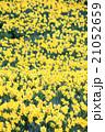 早春満開のスイセン 21052659