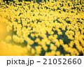 早春満開のスイセン 21052660