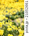 早春満開のスイセン 21052661