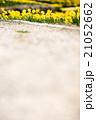 早春のスイセン 21052662