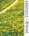 早春満開のスイセン 21052663