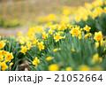 早春満開のスイセン 21052664