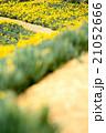 早春満開のスイセン 21052666