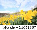 早春満開のスイセン(広角撮影) 21052667