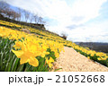 早春満開のスイセン(広角撮影) 21052668