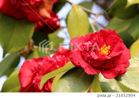 真紅のツバキの花 21052904