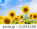 ひまわりと夏空 21054199