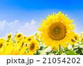向日葵 青空 夏空の写真 21054202