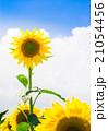ひまわりと夏空 21054456