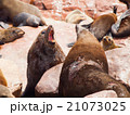 Brown fur seals fight 21073025