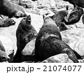 Brown fur seals fight 21074077