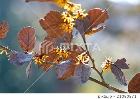 マンサクの花 21080871