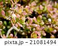 多肉植物 花月 フチベニベンケイの写真 21081494