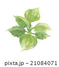 ヤーコン 葉 葉っぱのイラスト 21084071