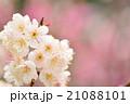 さくらんぼの花の接写 21088101