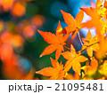 紅葉 イロハモミジ もみじの写真 21095481