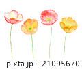 アイスランドポピー ポピー 花のイラスト 21095670