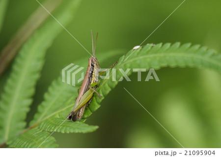 生き物 昆虫 コイナゴ、小型で黄緑色の体にはっきりした黒いラインを持ち複眼が大きく見えるイナゴです 21095904