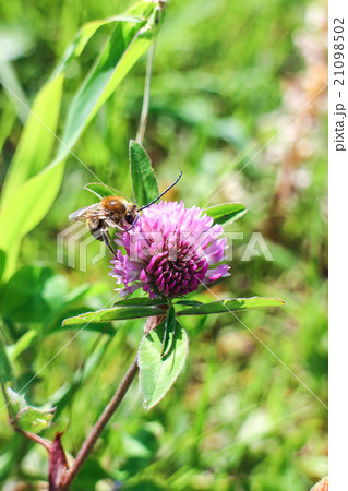 ミツバチ 21098502