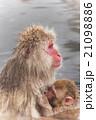 動物 温泉 サルの写真 21098886