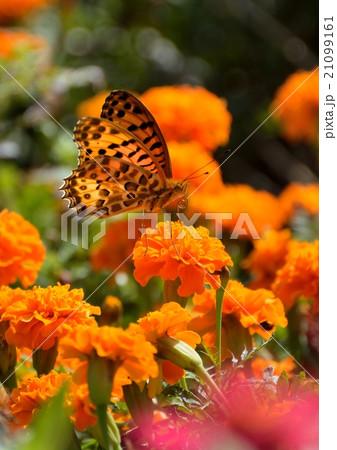 花マリーゴールドに蝶 21099161