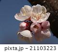 大寒桜の花 21103223