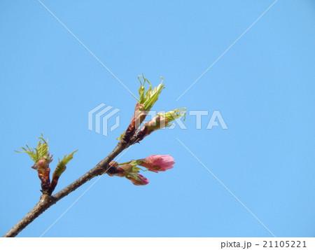 河津桜と新芽-大泉さくら運動公園 21105221
