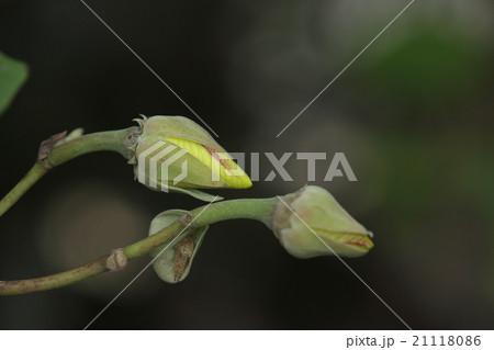 自然 植物 ゆうな、『オオハマボウ』です。花は一日花ですが、蕾が沢山あり次々と美しい花を咲かせます 21118086