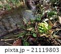 水辺のフキノトウ 21119803