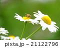 花 マーガレット 蜜蜂の写真 21122796