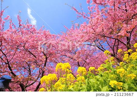 春色【河津桜と菜の花】の写真素...