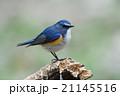 ルリビタキ 野鳥 右向きの写真 21145516