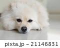 わんこ 犬 ホワイトの写真 21146831