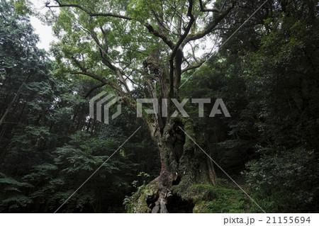 武雄神社の大楠 21155694