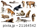 tiger and other big wildcats. Isolated over white 21164542