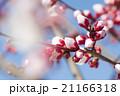 梅の花 21166318