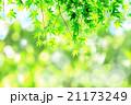 新緑のイメージ‗もみじの若葉 21173249