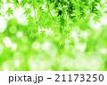 新緑のイメージ‗もみじの若葉 21173250