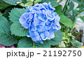 close up of blue hydrangea in the garden. 21192750