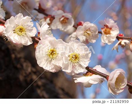 梅の花(内裏) 21192950