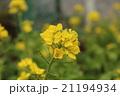 菜の花 21194934