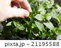 Seedlings on the vegetable tray. 21195588