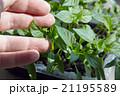 Seedlings on the vegetable tray. 21195589