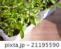 Seedlings on the vegetable tray. 21195590