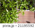 Seedlings on the vegetable tray. 21195592
