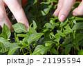 Seedlings on the vegetable tray. 21195594