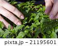 Seedlings on the vegetable tray. 21195601
